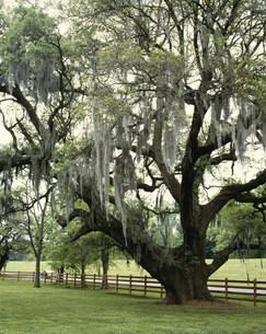 スペイン苔の掛った樫の木の写真素材 [FYI03250392]