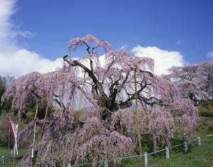 日本三大桜の三春滝桜 国天然記念物の写真素材 [FYI03253126]