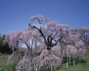 三春滝桜の写真素材 [FYI03253595]