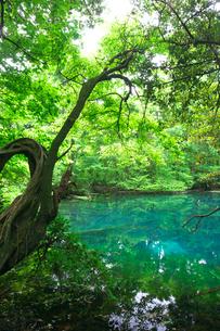 新緑の湧水池 丸池様の写真素材 [FYI03254016]