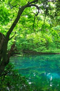 新緑の湧水池 丸池様の写真素材 [FYI03254040]
