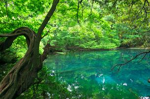 新緑の湧水池 丸池様の写真素材 [FYI03254068]