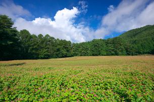 赤ソバの里の花畑の写真素材 [FYI03254121]