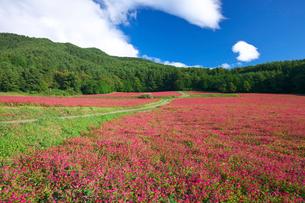 赤ソバの里の花畑の写真素材 [FYI03254125]