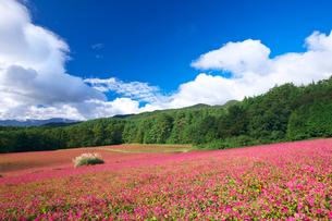赤ソバの里の花畑とススキの写真素材 [FYI03254127]