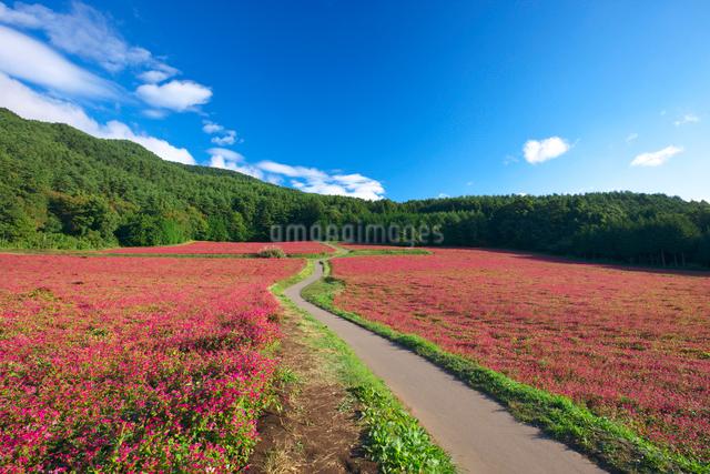 赤ソバの里の花畑と道の写真素材 [FYI03254141]