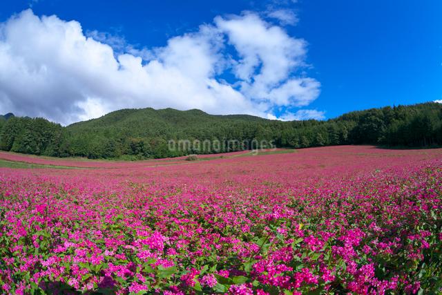 赤ソバの里の花畑の写真素材 [FYI03254142]