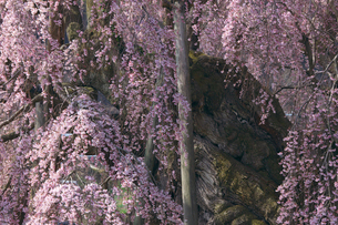三春の滝桜の幹の写真素材 [FYI03254144]