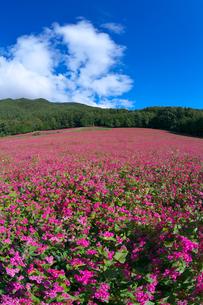 赤ソバの里の花畑の写真素材 [FYI03254146]