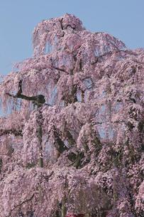 三春の滝桜の写真素材 [FYI03254147]