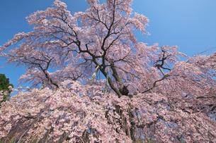 三春の滝桜の写真素材 [FYI03254155]