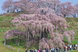 三春の滝桜の写真素材 [FYI03254164]
