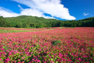 赤ソバの里の花畑の写真素材 [FYI03254167]