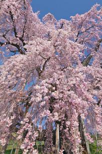 三春の滝桜の写真素材 [FYI03254171]