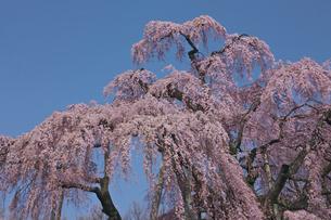 三春の滝桜の写真素材 [FYI03254184]