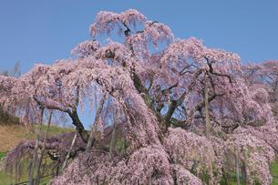 三春の滝桜の写真素材 [FYI03254201]