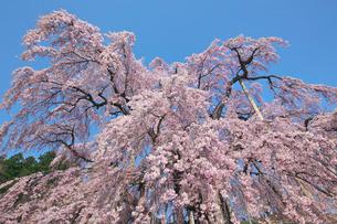 三春の滝桜の写真素材 [FYI03254213]