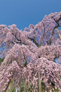 三春の滝桜の写真素材 [FYI03254216]