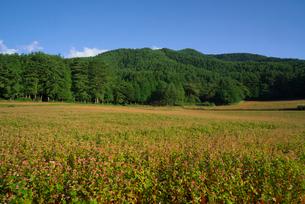 赤ソバの花畑の写真素材 [FYI03254331]
