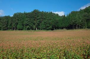 赤ソバの花畑の写真素材 [FYI03254361]