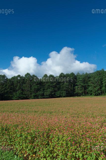 赤ソバの花畑の写真素材 [FYI03254362]
