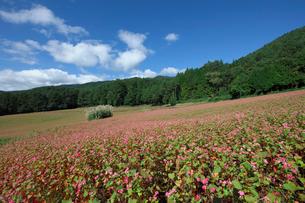 赤ソバの花畑の写真素材 [FYI03254364]