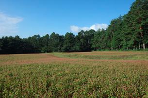 赤ソバの花畑の写真素材 [FYI03254365]