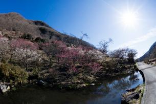 梅の花と池と太陽の写真素材 [FYI03254393]