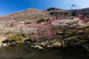 梅の花と池の写真素材 [FYI03254405]