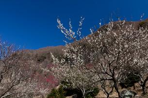 梅の花の写真素材 [FYI03254410]