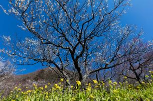 梅の花と菜の花の写真素材 [FYI03254427]