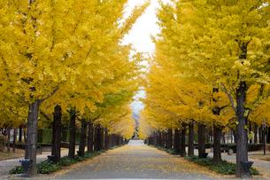 イチョウ並木の黄葉の写真素材 [FYI03254449]