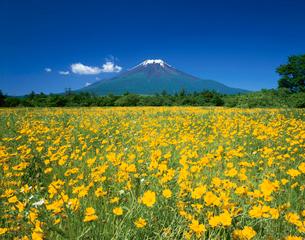 大金鶏菊と富士山の写真素材 [FYI03254751]