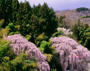 阿武隈山地の桜の写真素材 [FYI03254942]