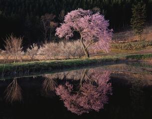 朝の貯水池畔の一本桜の写真素材 [FYI03254973]