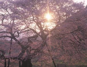 黒部のエドヒガンザクラと朝日の写真素材 [FYI03255018]