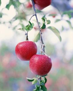りんご ジョナゴールドの写真素材 [FYI03255293]