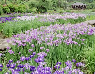 滝谷の花しょうぶ園の写真素材 [FYI03255496]