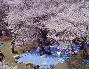 満開の桜の下で花見の宴の写真素材 [FYI03255577]