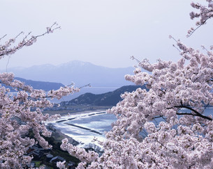 桜の越前海岸国定公園の写真素材 [FYI03255603]