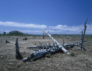 野付半島のトドワラ 別海町 6月の写真素材 [FYI03255642]