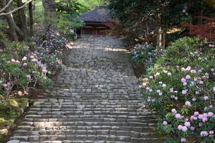 シャクナゲ咲く室生寺 鎧坂の写真素材 [FYI03255972]