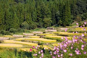 コスモス咲く福島の棚田の写真素材 [FYI03256032]
