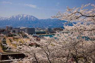 桜と敦賀港と残雪の野坂山の写真素材 [FYI03256103]