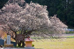 神話の里、高天ヶ原に咲く鶯宿梅の写真素材 [FYI03256106]