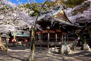難関突破と恋の宮、金崎宮の桜の写真素材 [FYI03256107]