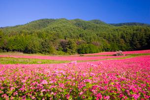 赤そば畑の写真素材 [FYI03256165]