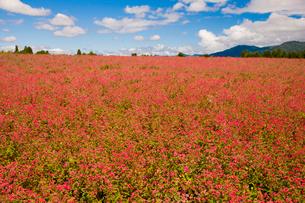 赤そば畑の写真素材 [FYI03256166]