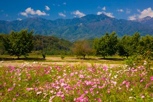 コスモスの花と中央アルプスの山並みの写真素材 [FYI03256171]