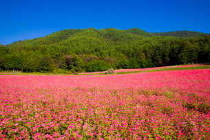 赤そば畑の写真素材 [FYI03256192]